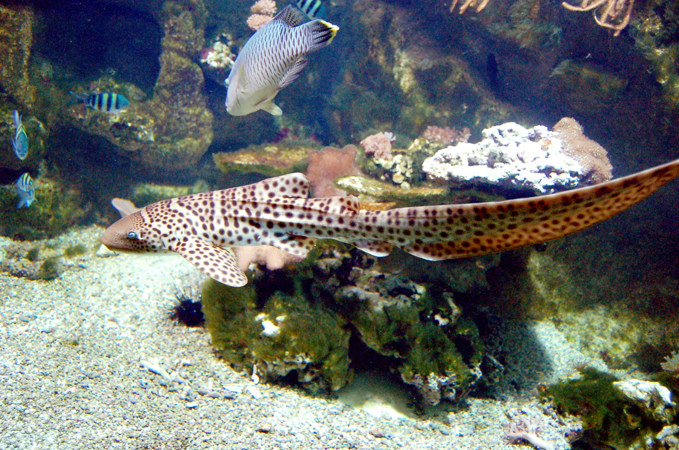 File:Aquarium tropical du Palais de la Porte Doree - Stegostoma ...