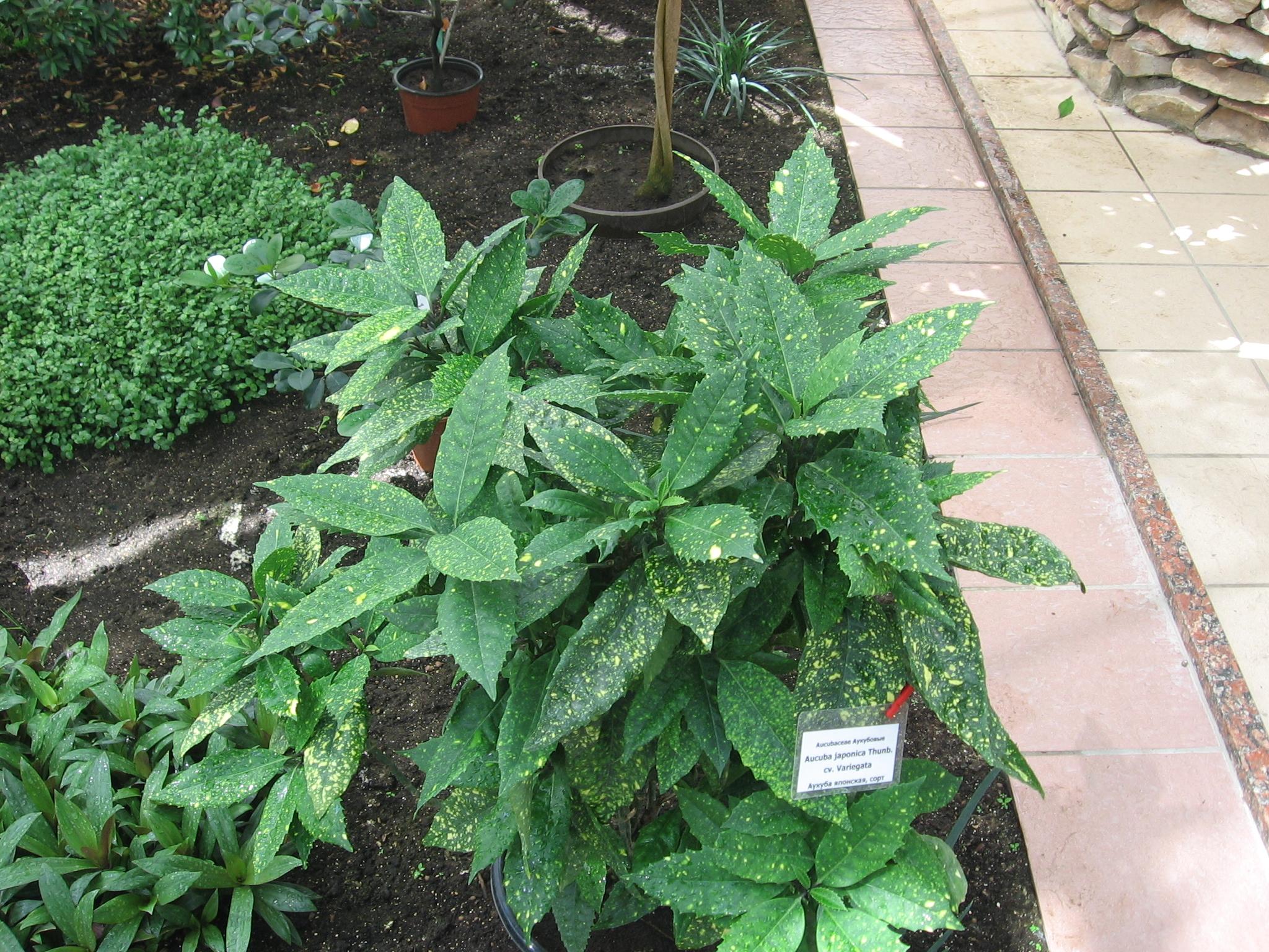 file aucuba japonica 39 variegata 39 in botanical garden. Black Bedroom Furniture Sets. Home Design Ideas