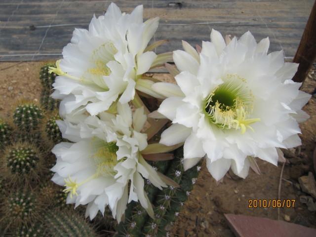 Filebig white cactus flowers 4680662038g wikimedia commons filebig white cactus flowers 4680662038g mightylinksfo