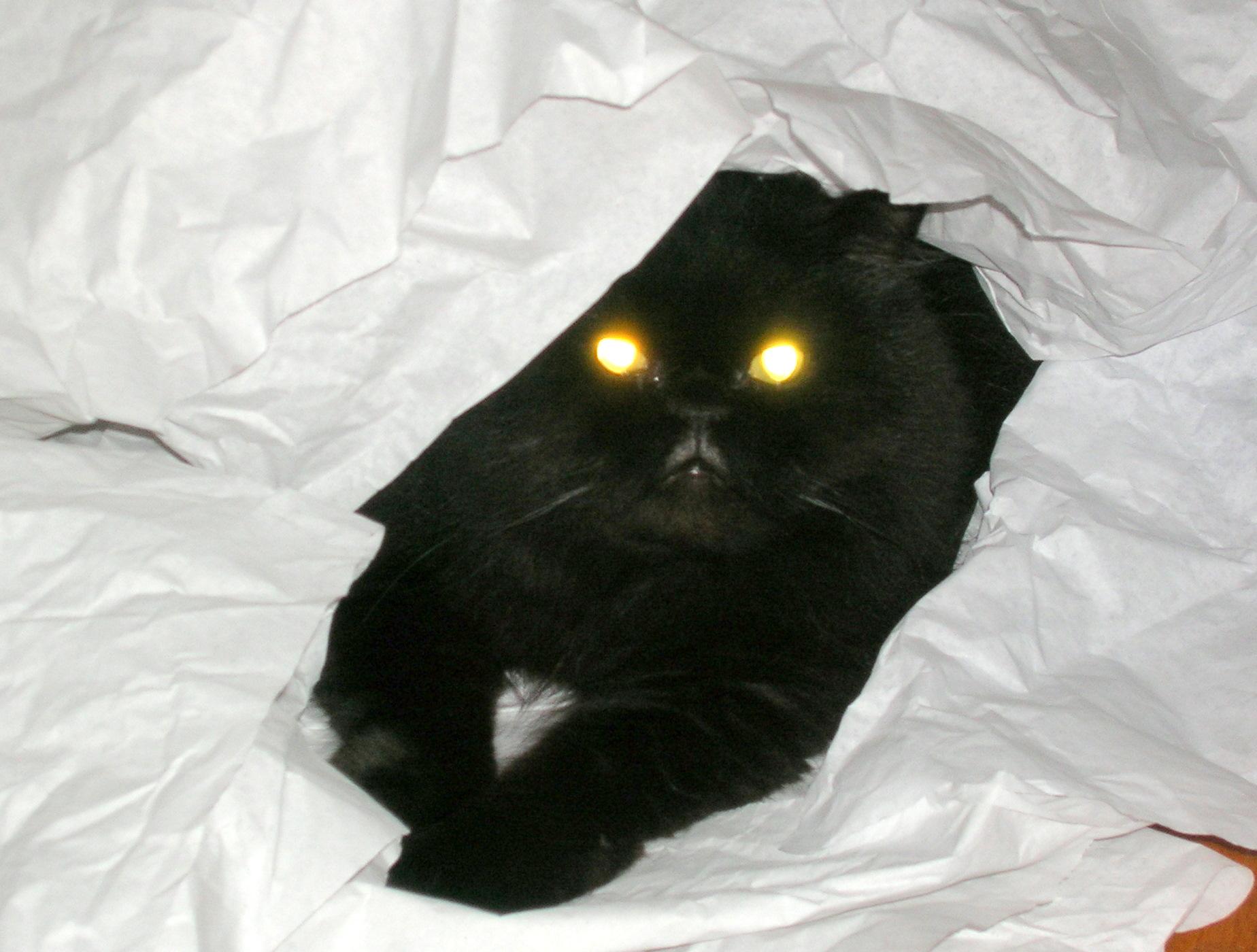 Black persian cat history