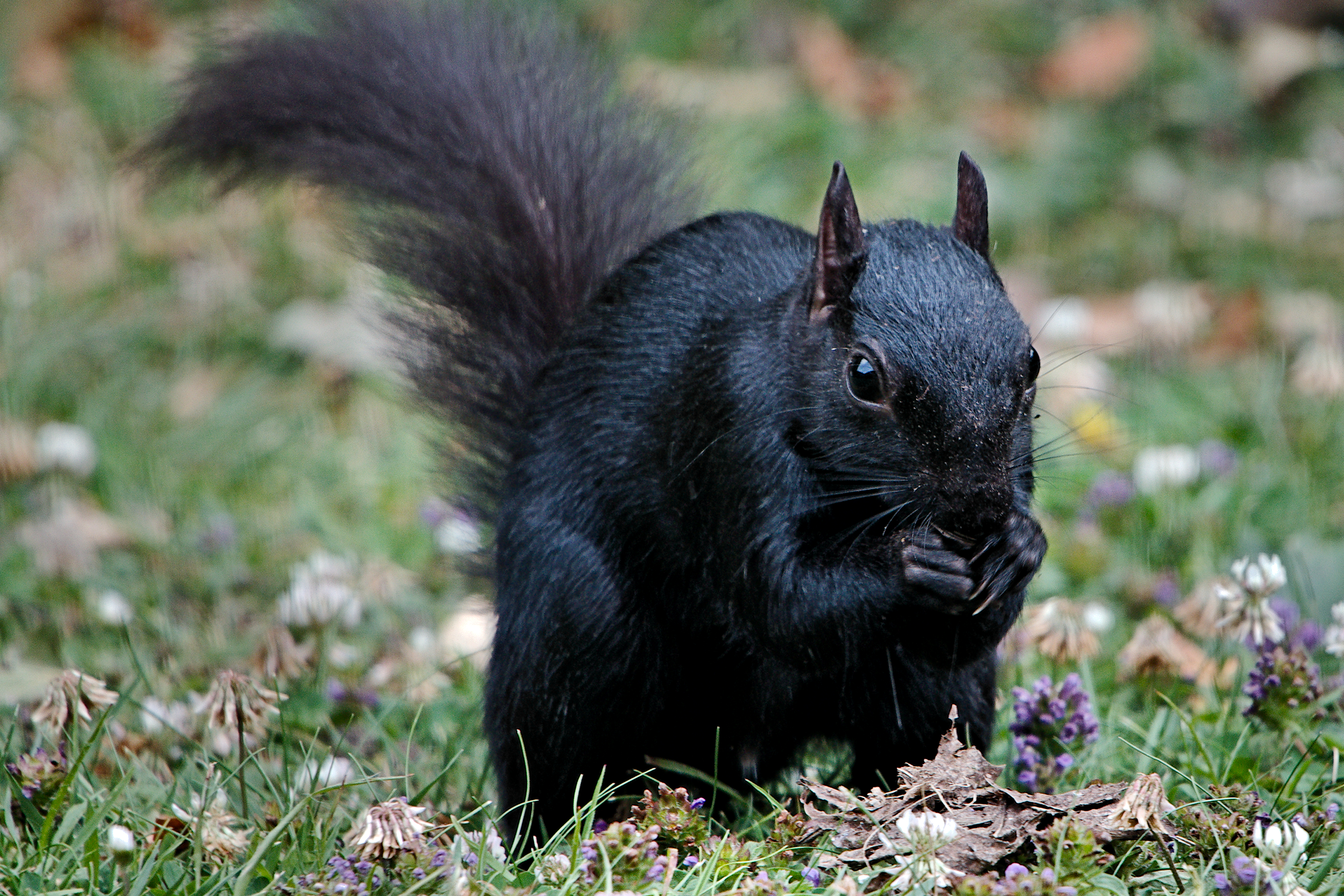 Black_Squirrel_%2834710237204%29.jpg