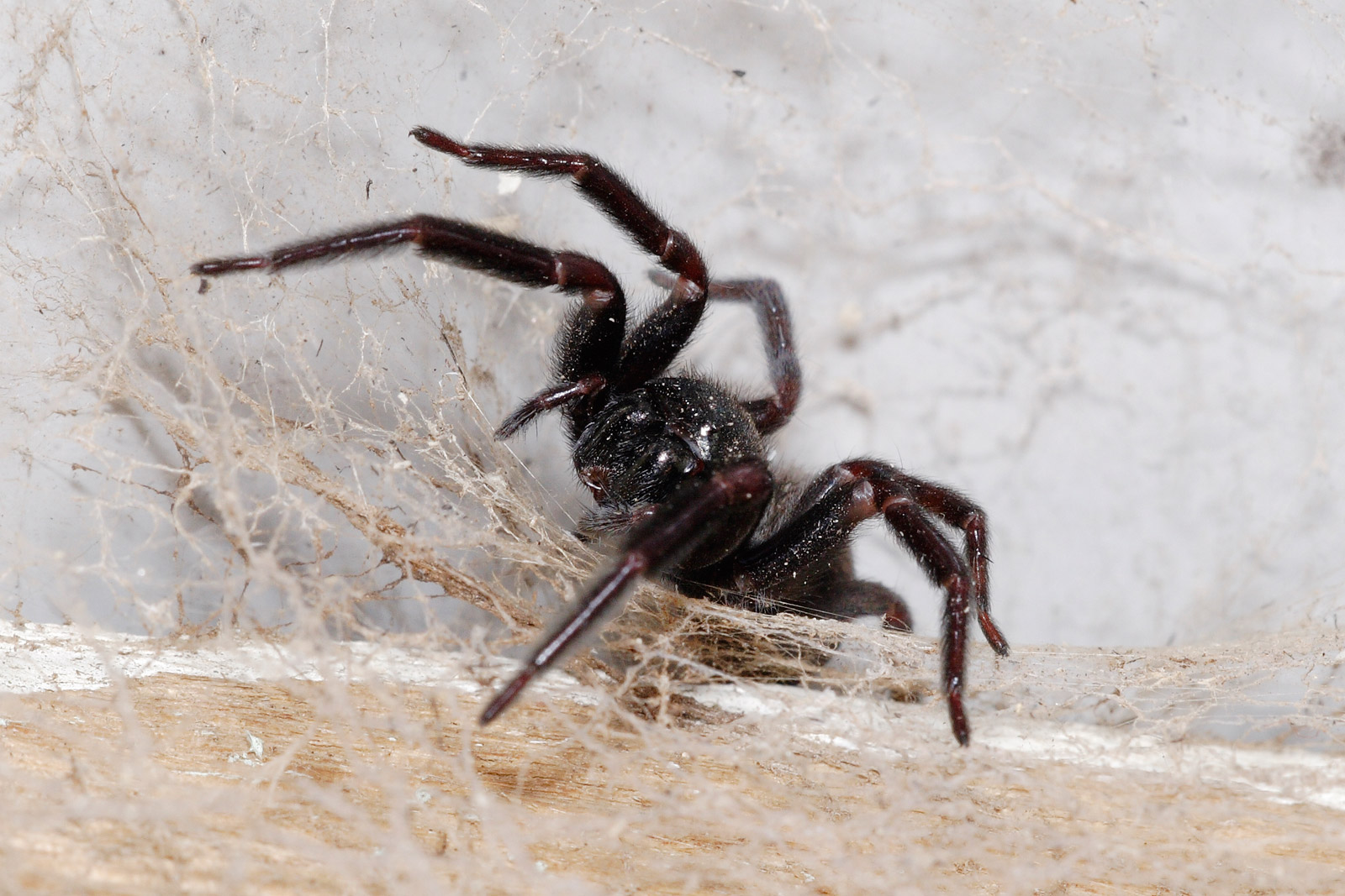 List of spider common names  Wikipedia