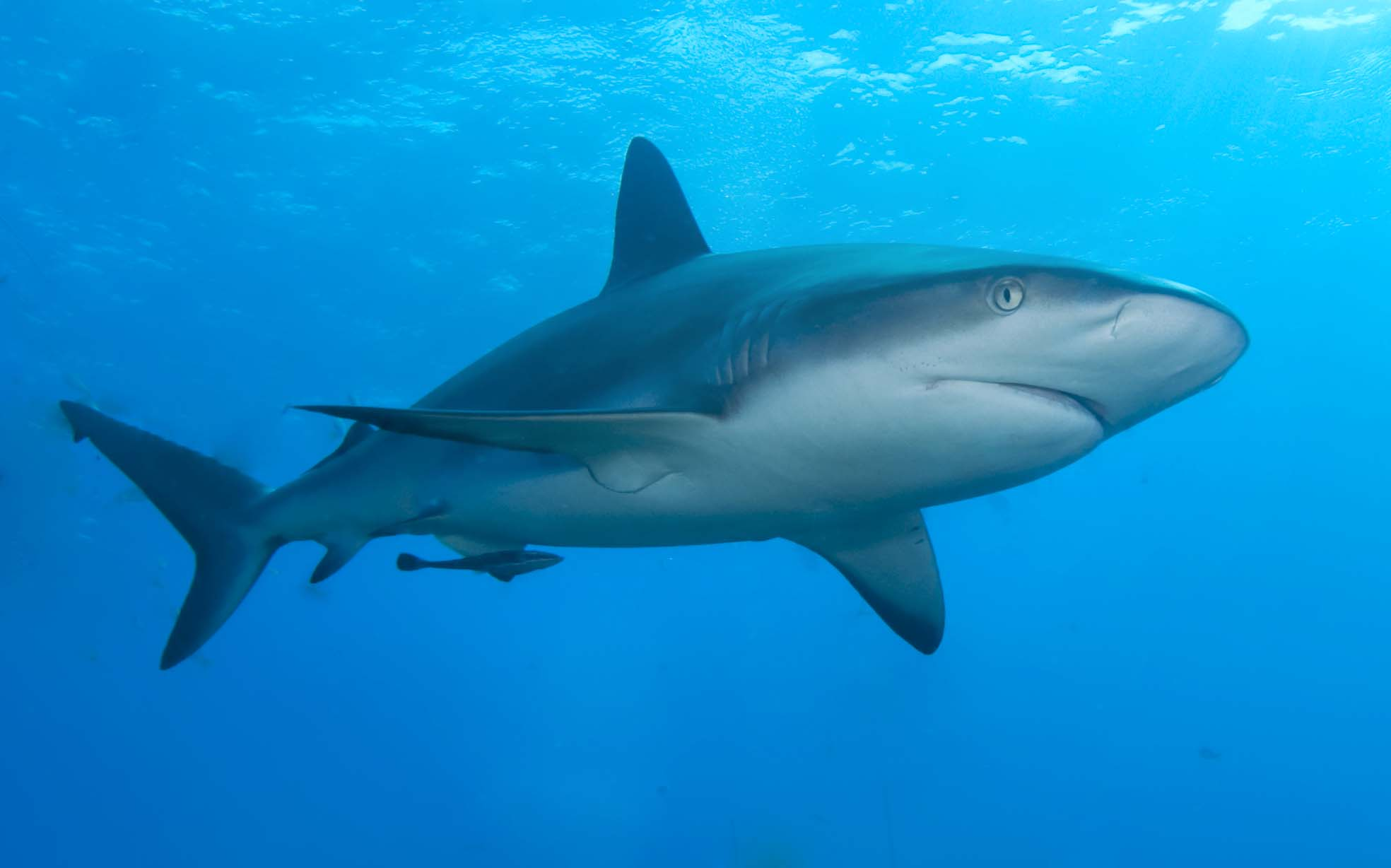 Description Caribbean reef shark.jpg