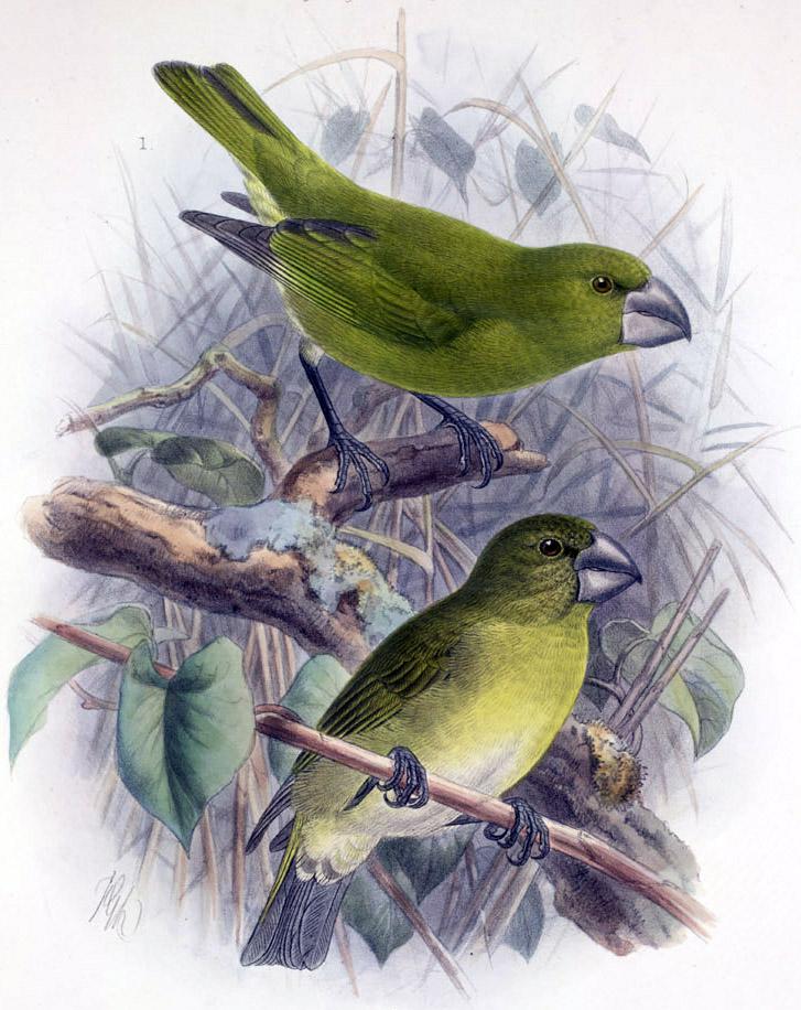 http://upload.wikimedia.org/wikipedia/commons/5/59/Chloridops_kona.jpg