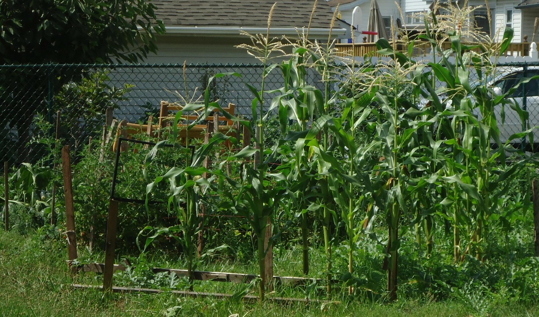 description corn growing in a backyard garden in new