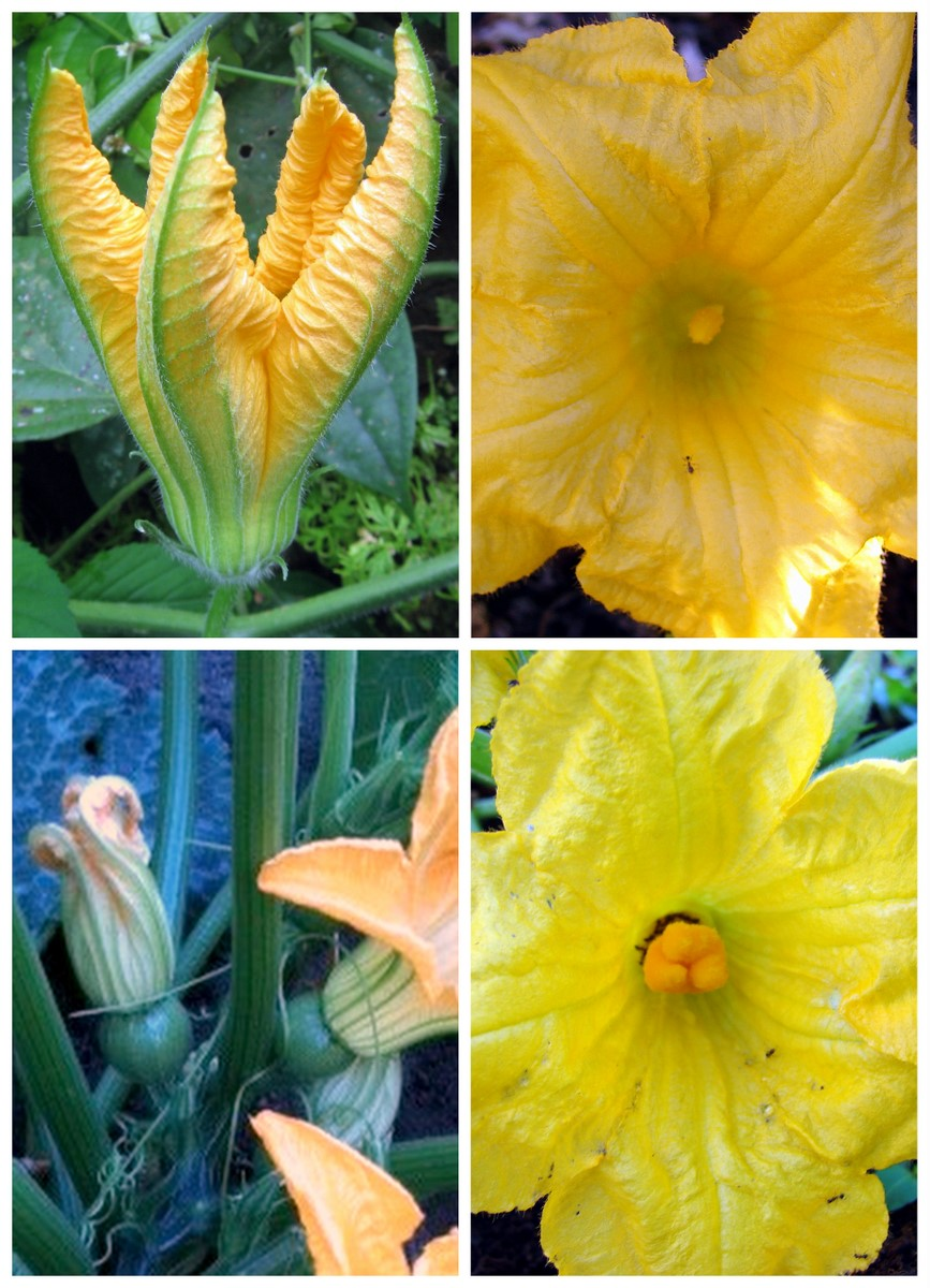 Fleur de courge ,citrouille etc... Cucurbita-flowers-male-female