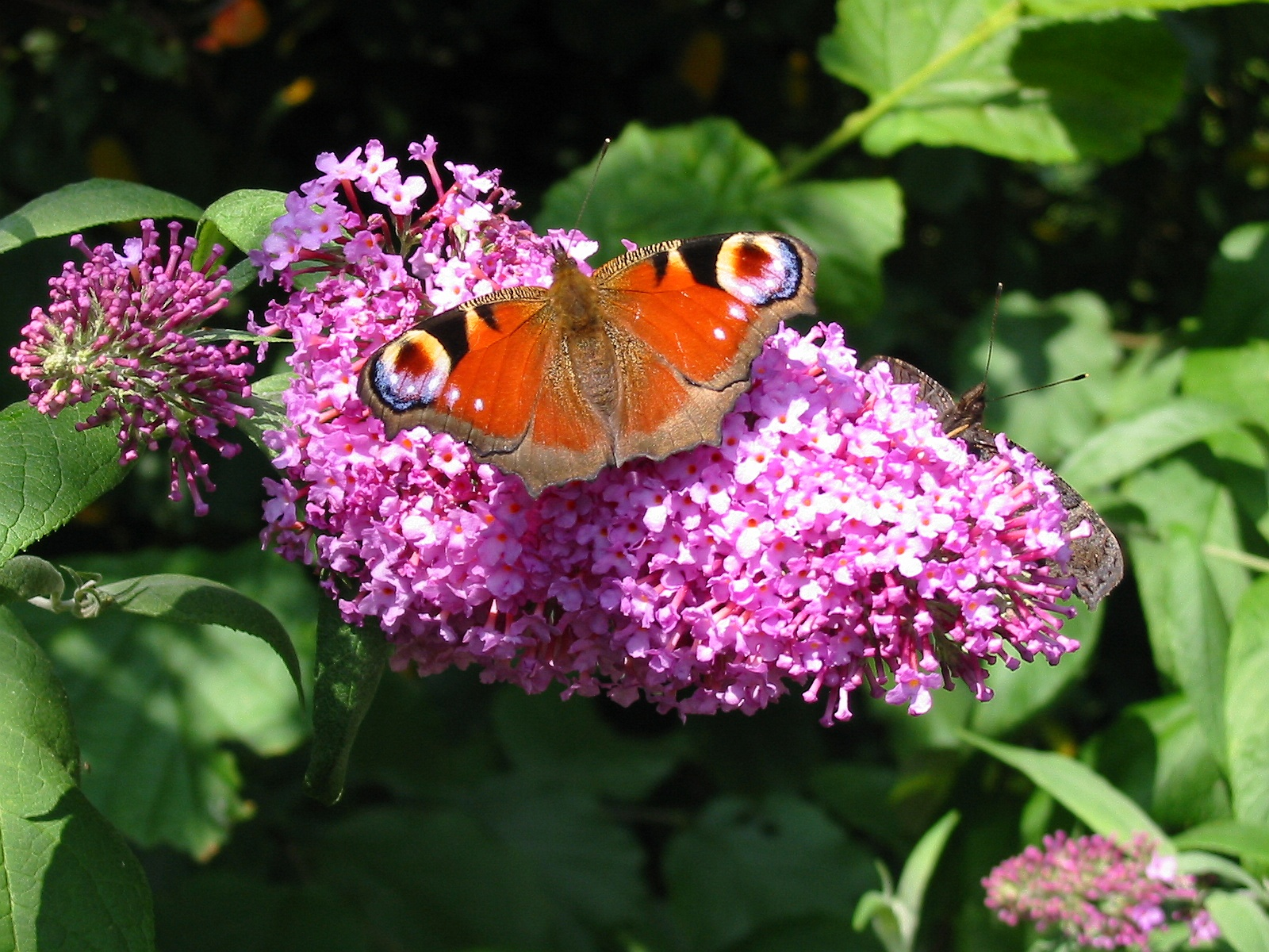 Bestand Dagpauwoog Op Vlinderstruik Jpg Wikipedia