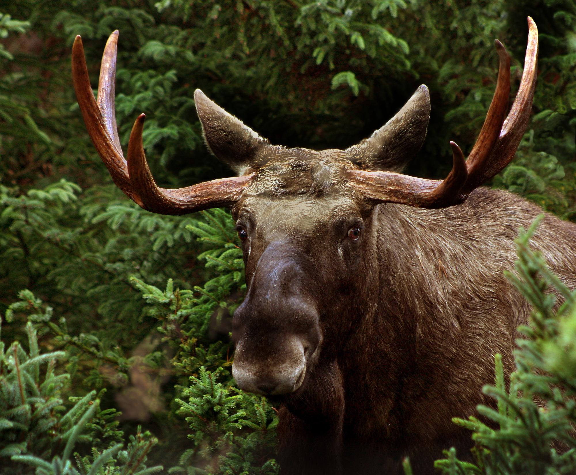 Alces Alces Elk male Alces alces