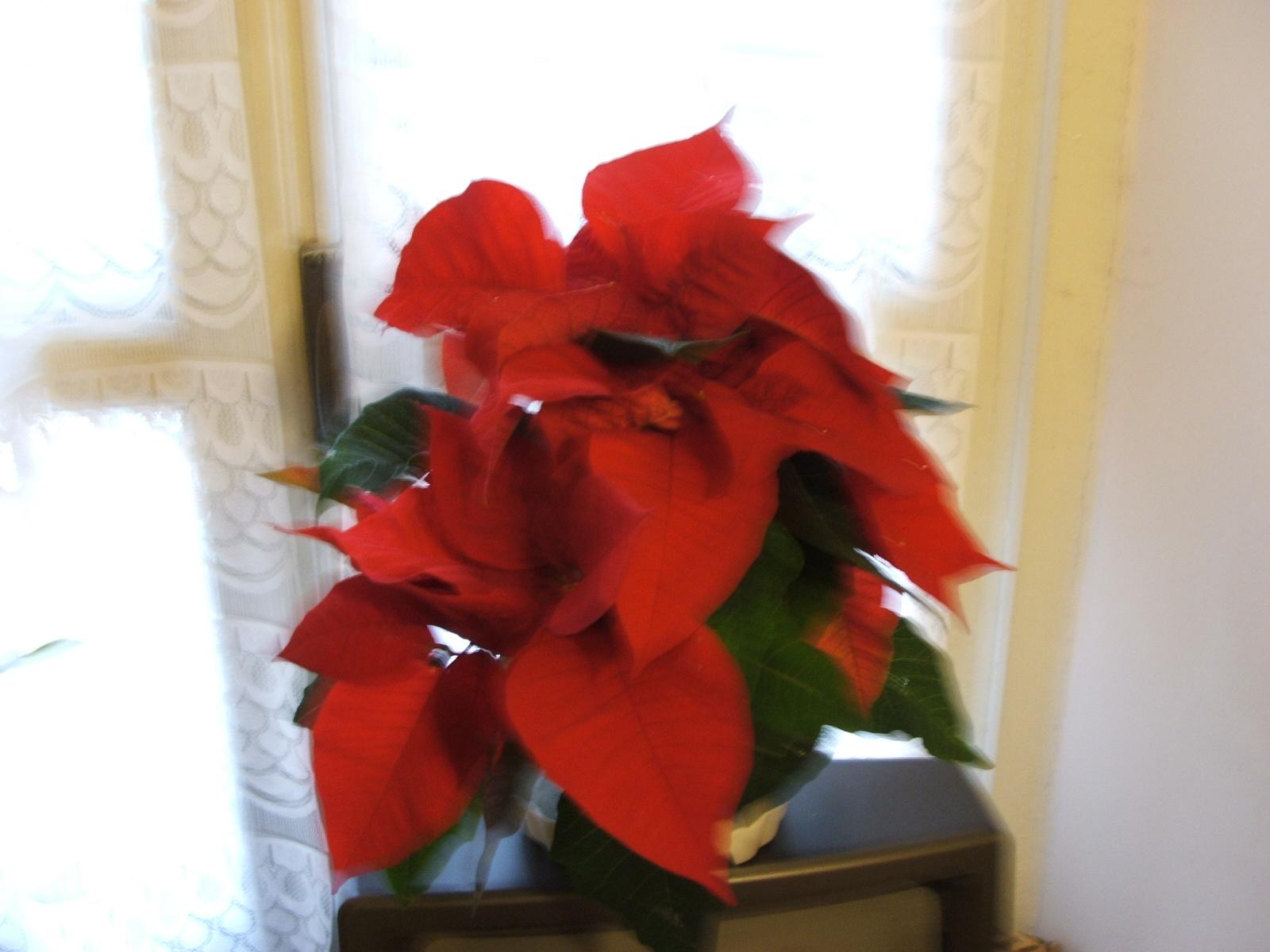 Alla Ricerca Della Stella Di Natale Wiki.File Euphorbia Pulcherrima Stella Di Natale Jpg Wikipedia
