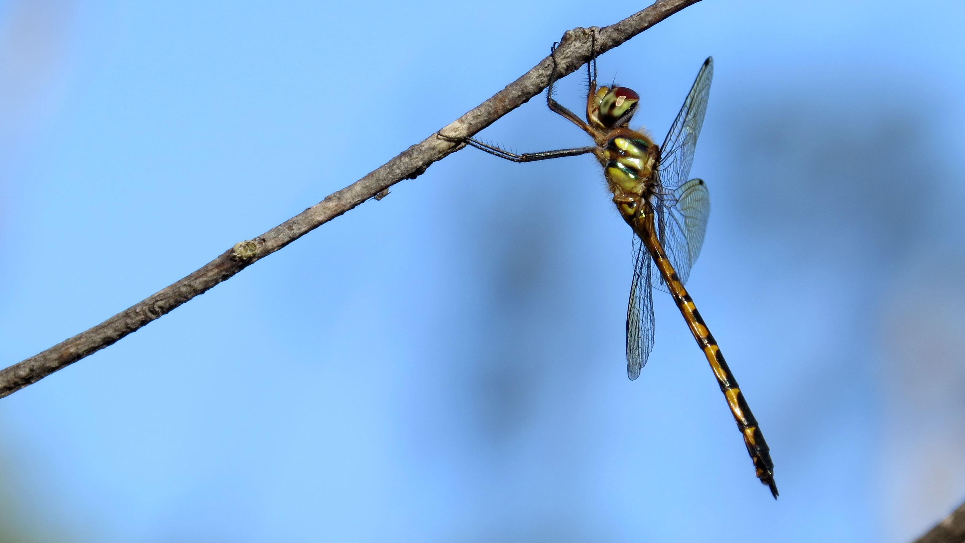 stock australian hemicordulia emerald australiae dragonfly photos image photo