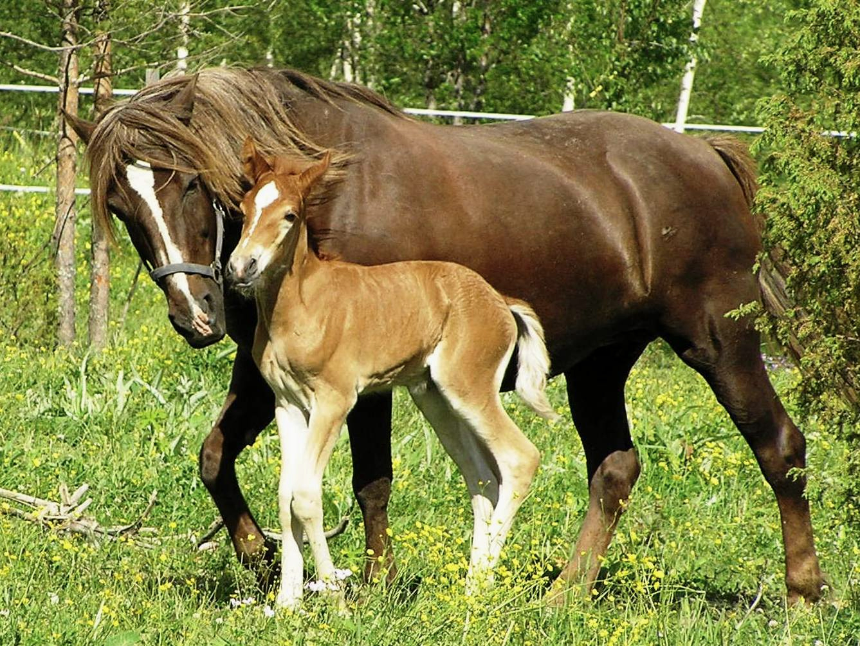 Description Finnhorse Mare With Foal