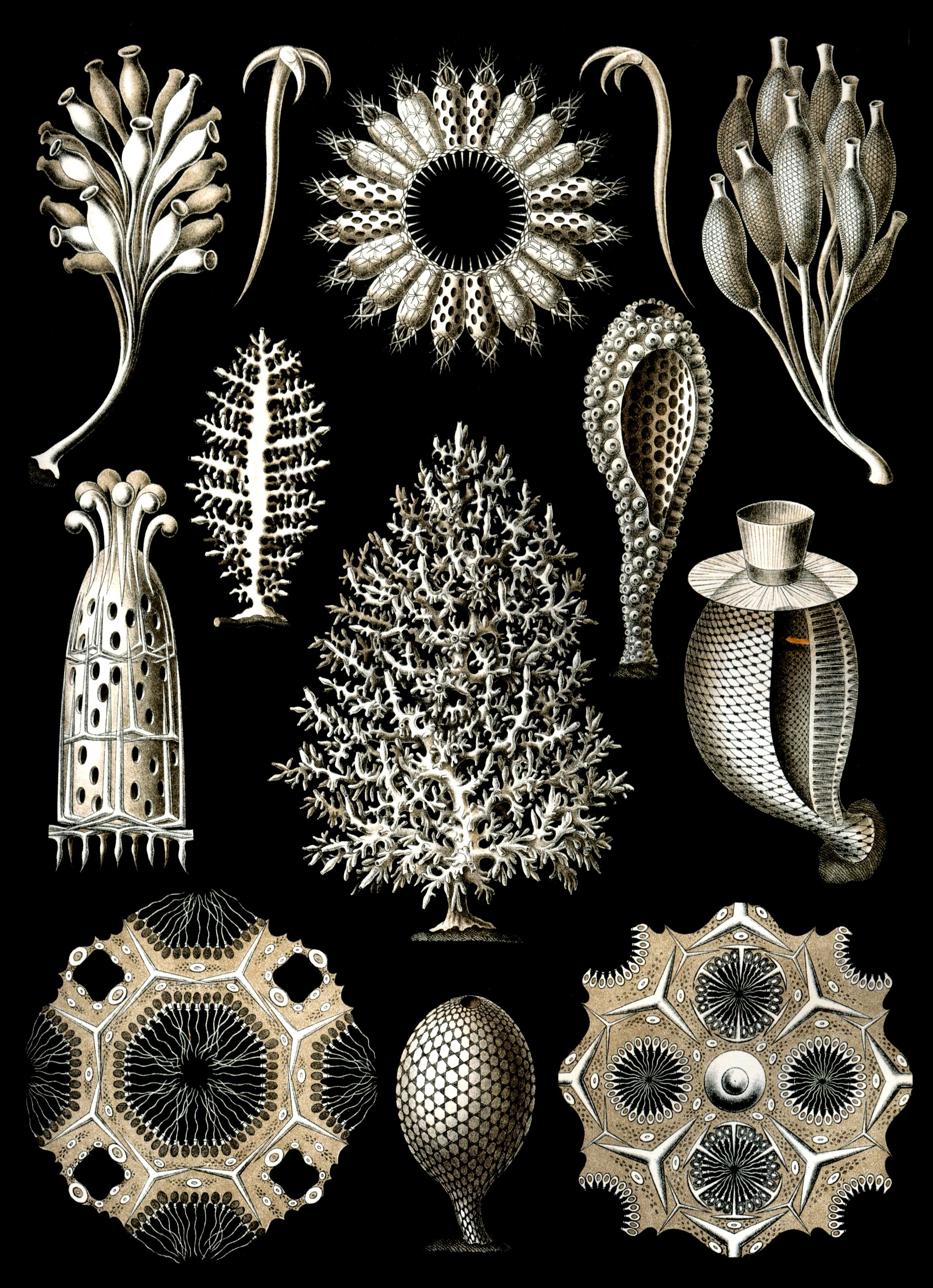 Calcareous sponge - Wikipedia