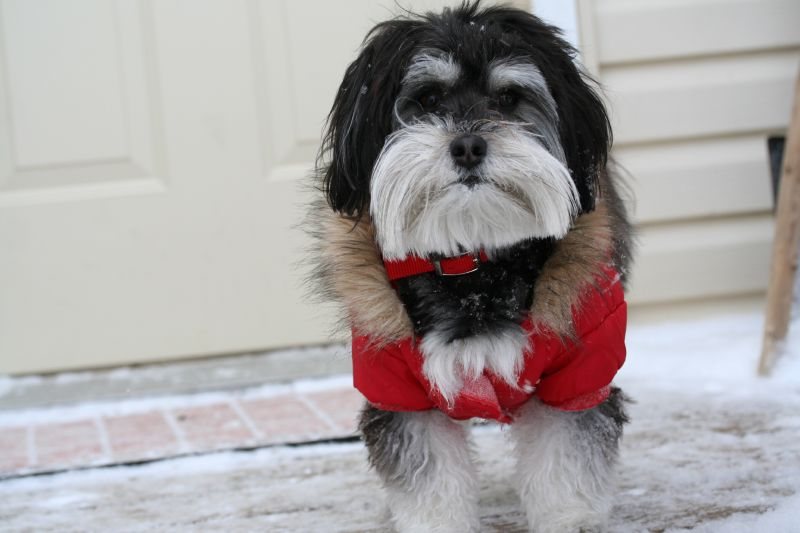 Havanese dog in red scarf