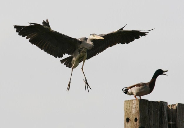 Heron just about to land on a Mallard - geograph.org.uk - 1606829