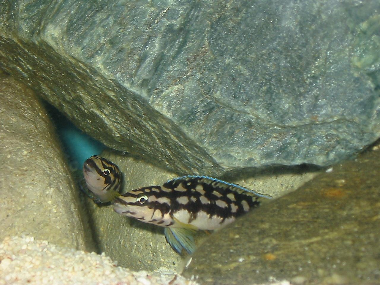 julidochromis marlieri katoma.jpg