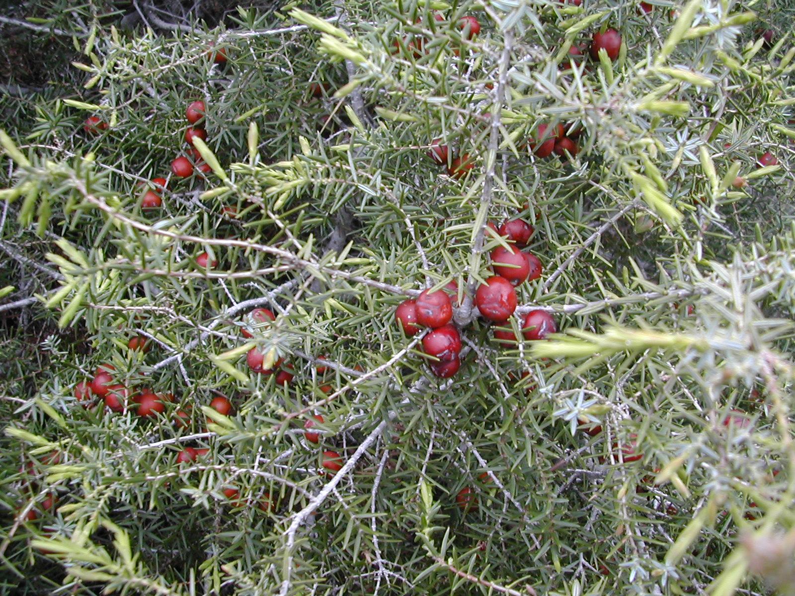 Catálogo de flora autóctona Juniperus_oxycedrus