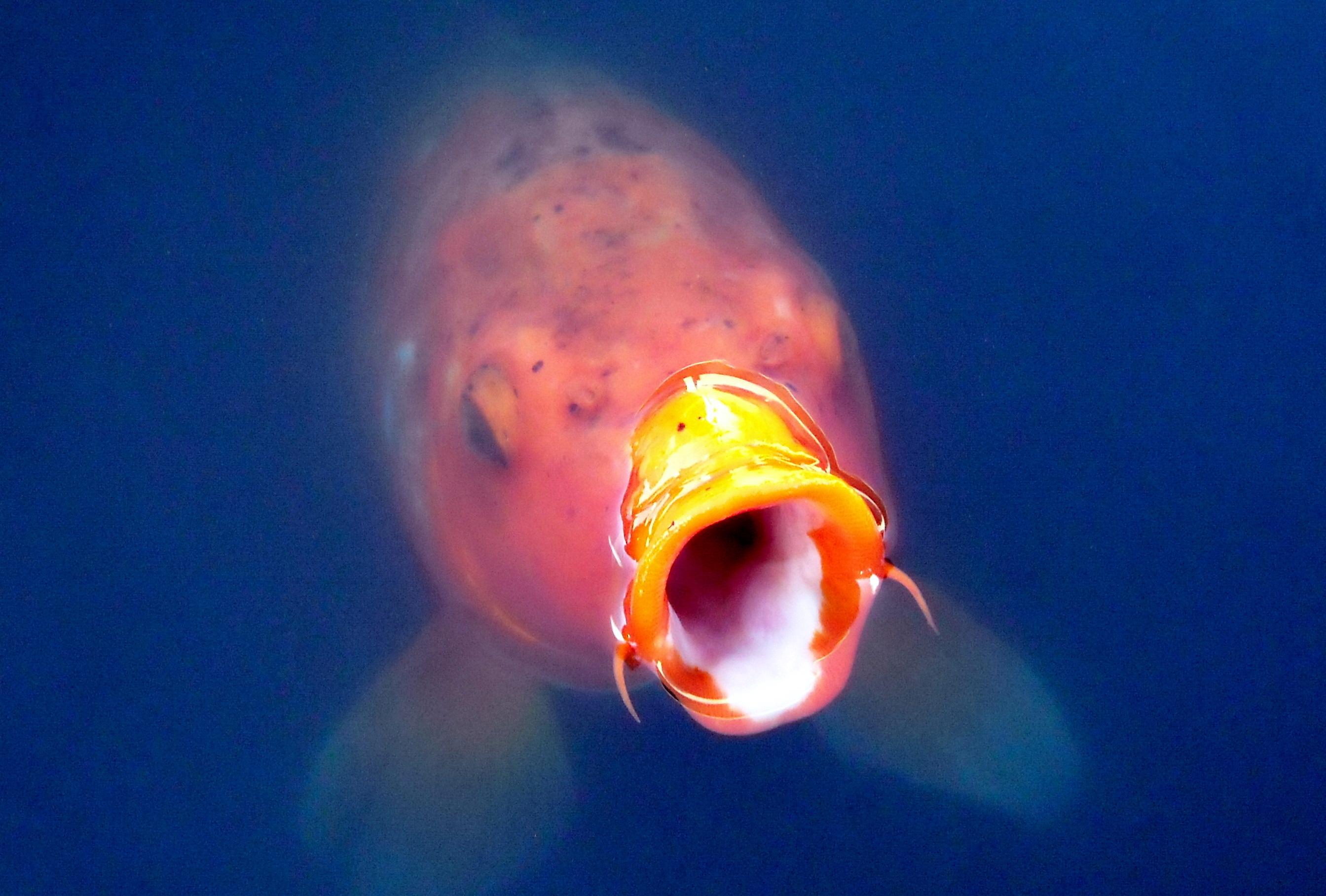 File koi feed for Coy carp fish