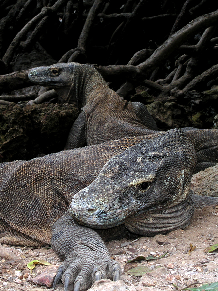 Komodo dragon Nick Hobgood