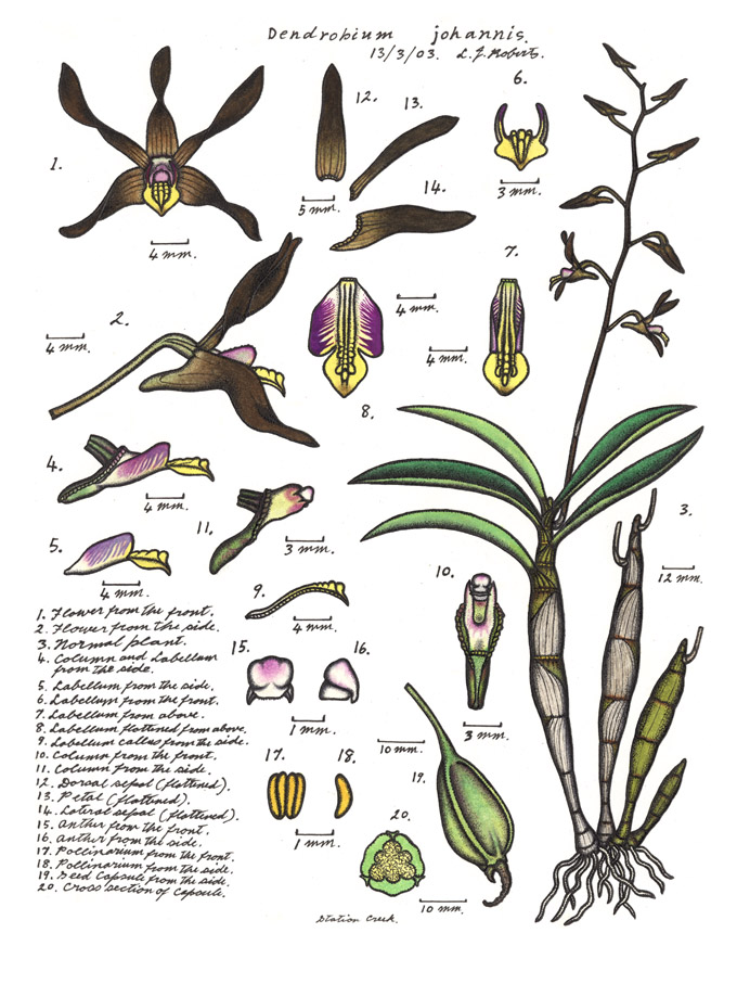 Botanical illustration of Cepobaculum johannis or Chocolate Tea Tree Orchid