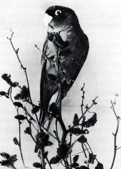 carolina parakeet, short extinct birds