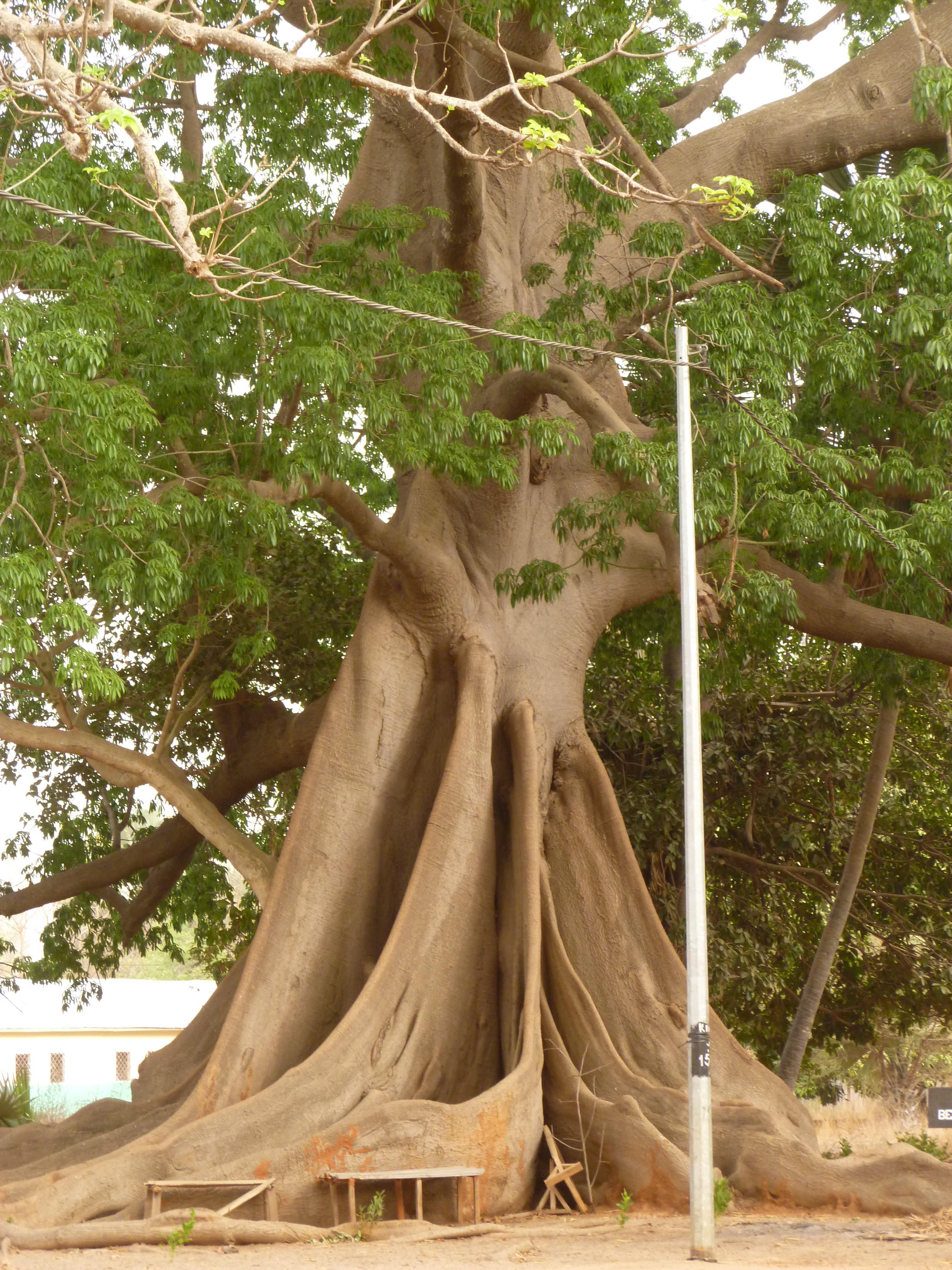 Mahagonibaum  File:Mahagoni-Baum.jpg - Wikimedia Commons