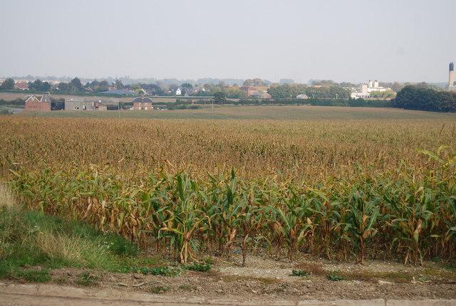 File:Maize field in Canterbury.jpg