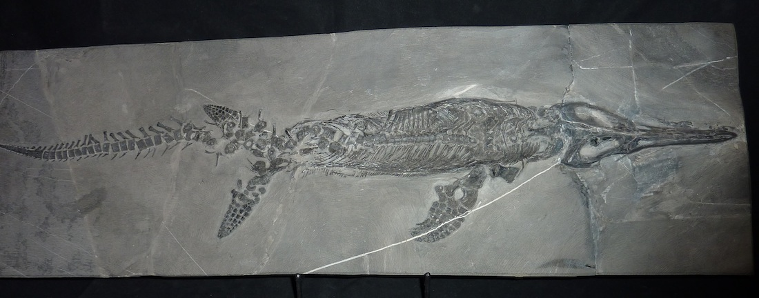 Mixosaurus.JPG