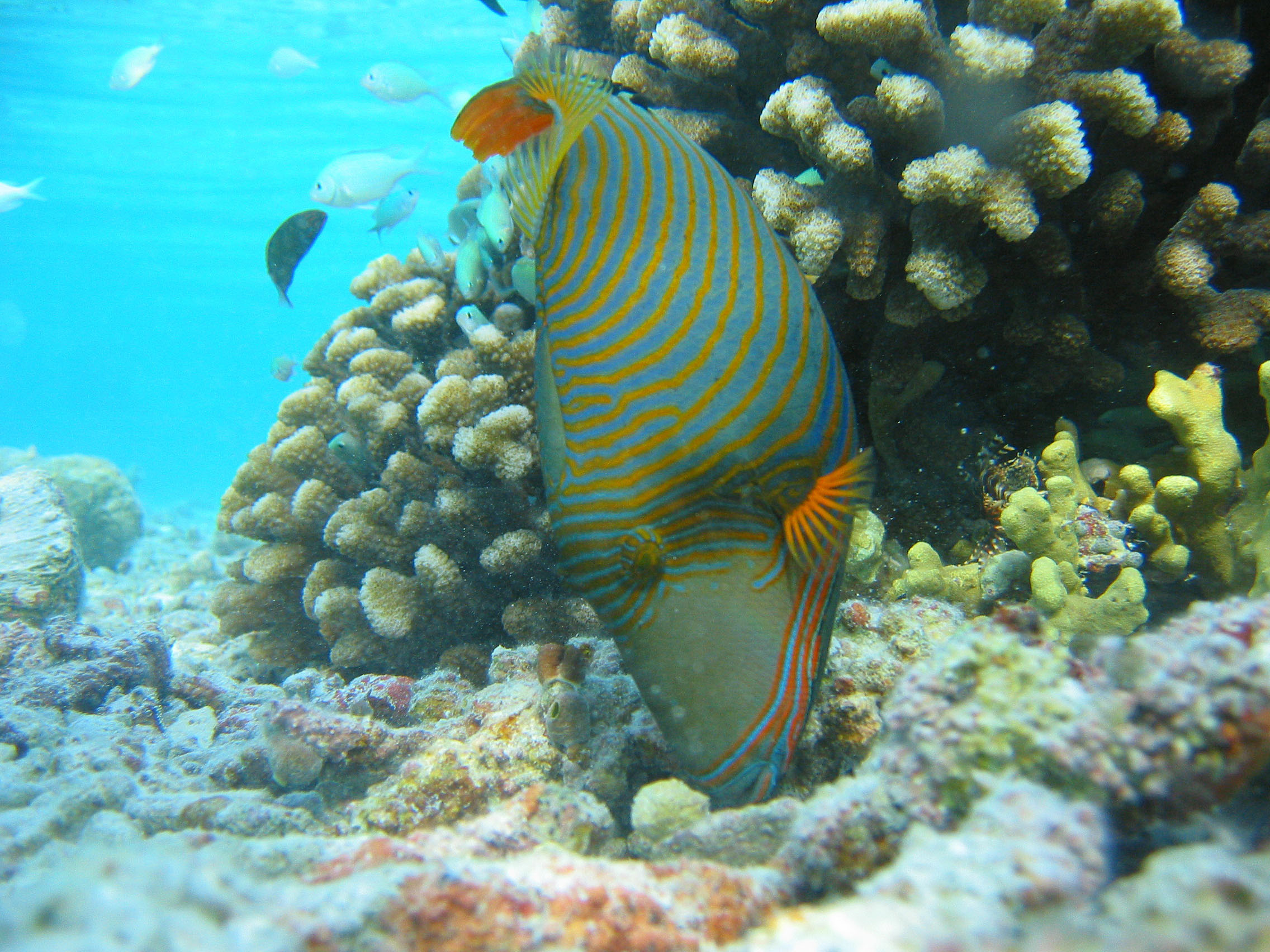 A triggerfish in a healthy reef in the Maldives.