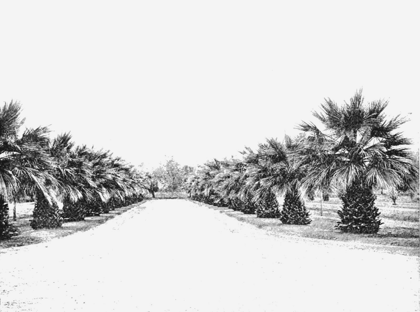 PSM V66 D113 Irrigated palms in phoenix arizona.png