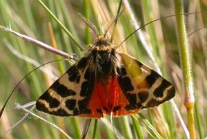 <i>Palearctia</i> Genus of moths