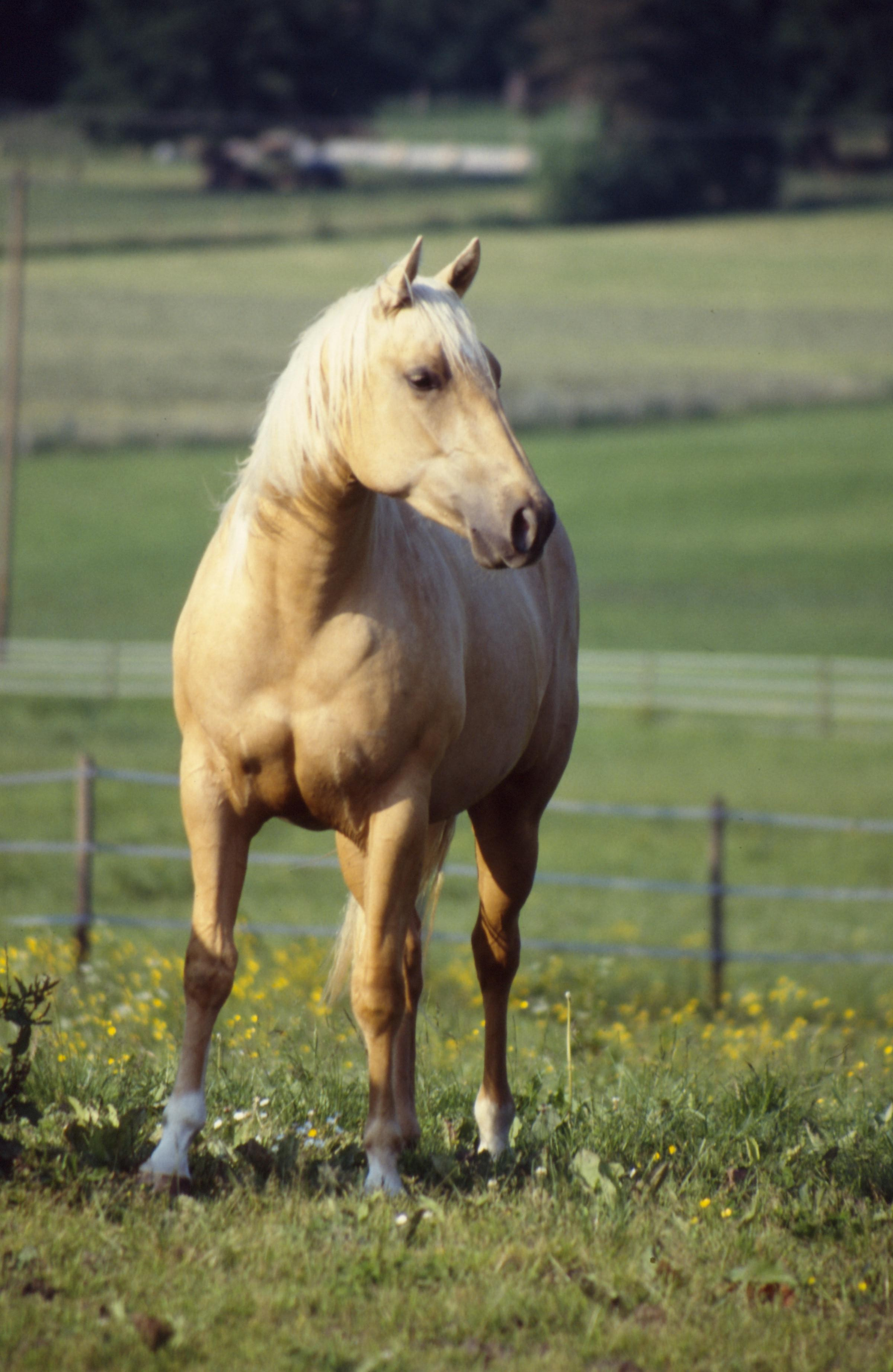 palomino horse color - photo #10