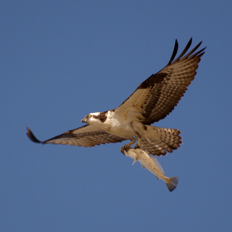 File pandion haliaetus fish texas 8 for Fish eating eagle