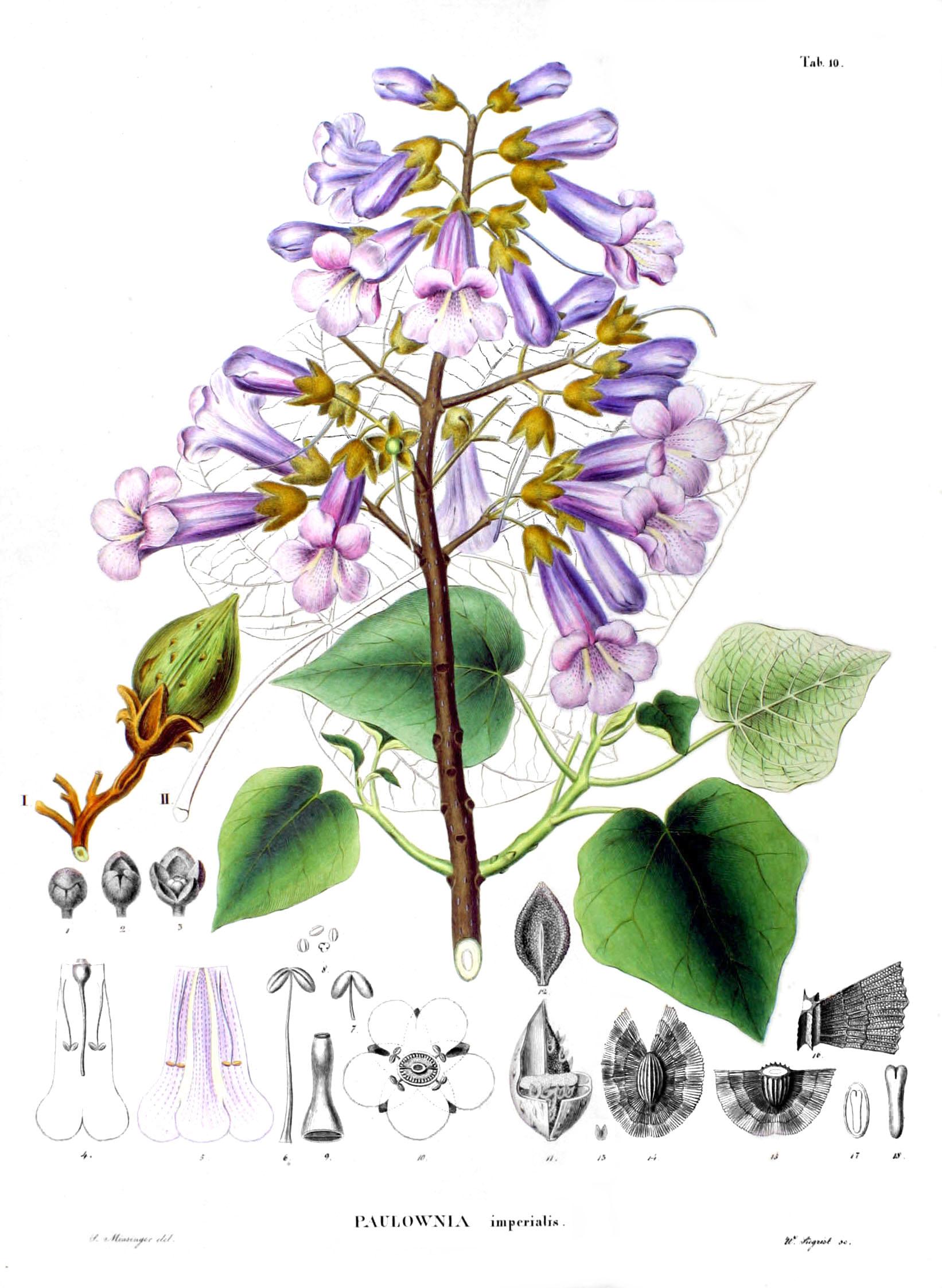 「paulownia seabold」の画像検索結果