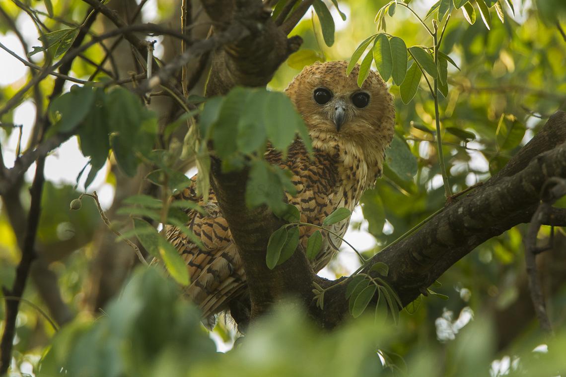 File:Pel's Fishing-Owl - Malawi.jpg