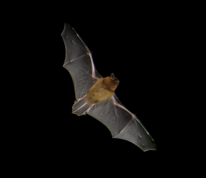 Pipistrellus pipistrellus in flight. Picture t...