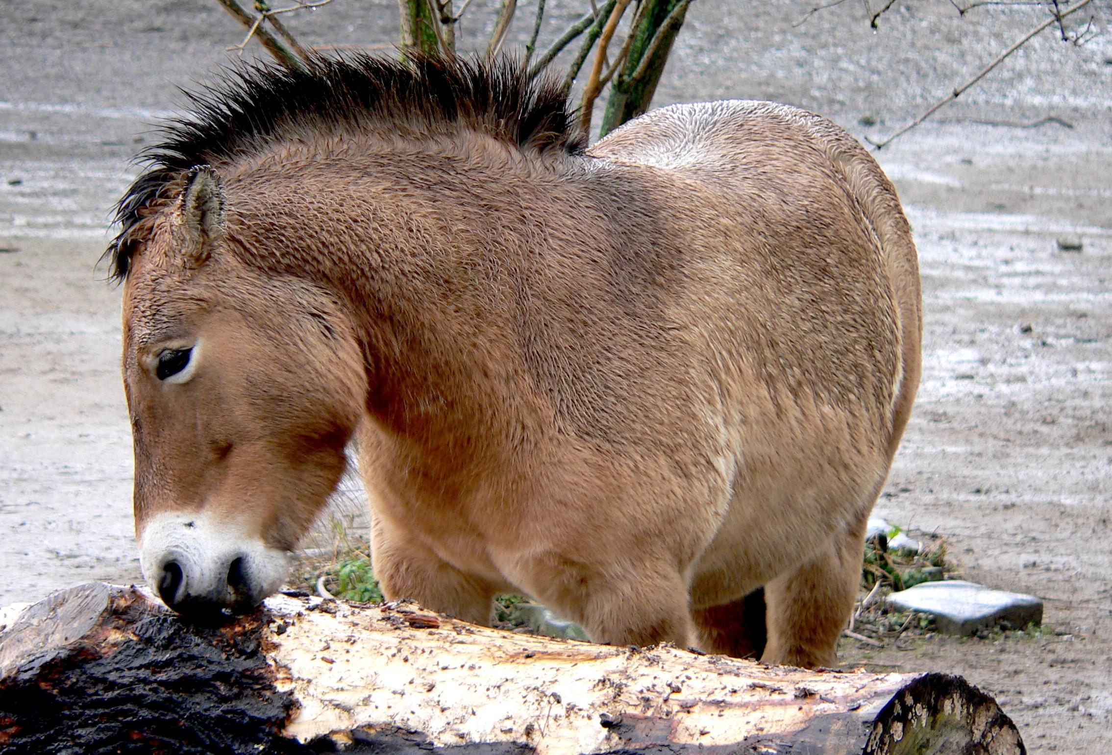 Pferde – Wikipedia
