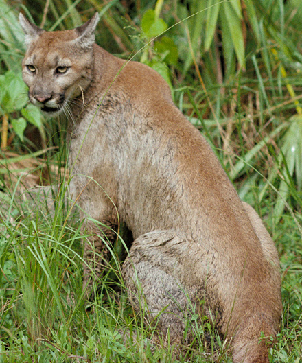 Fichier:Puma.jpg