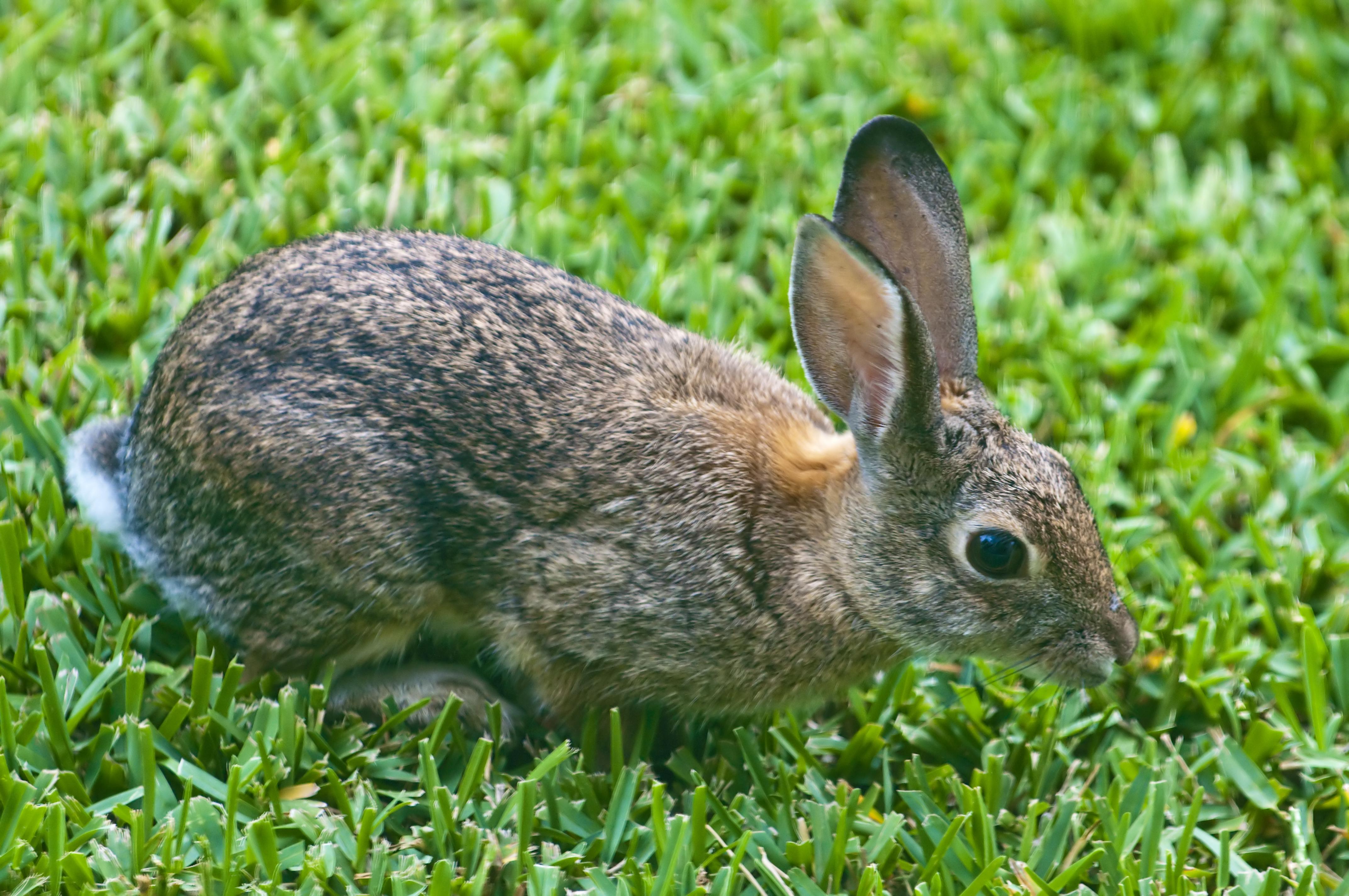 File:Rabbit in the Backyard.jpg - Wikimedia Commons