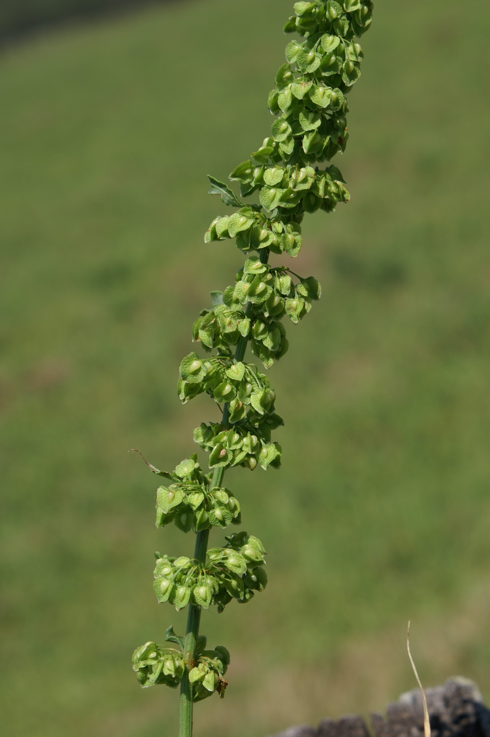 By Harry Rose from South West Rocks, Australia (Rumex crispus flowerhead4) [CC BY 2.0 (http://creativecommons.org/licenses/by/2.0)], via Wikimedia Commons