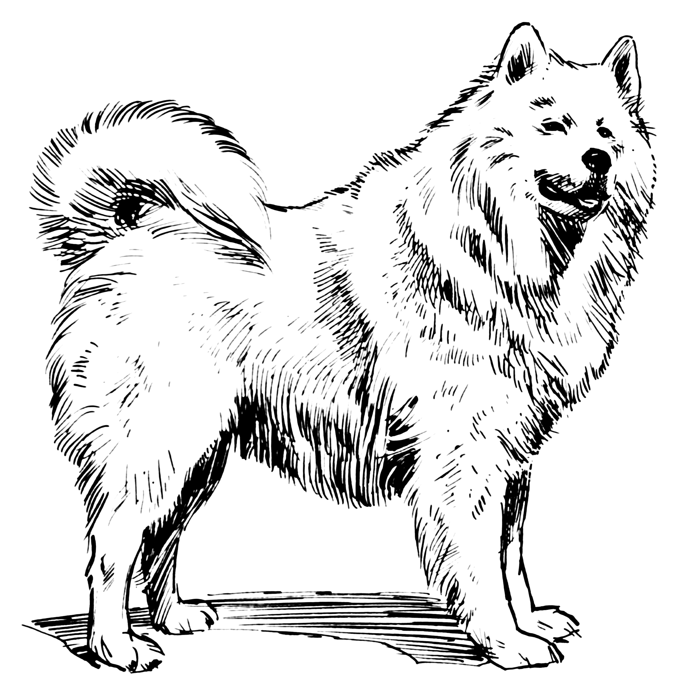 Line Drawing Wikipedia : File samoyed psf wikimedia commons