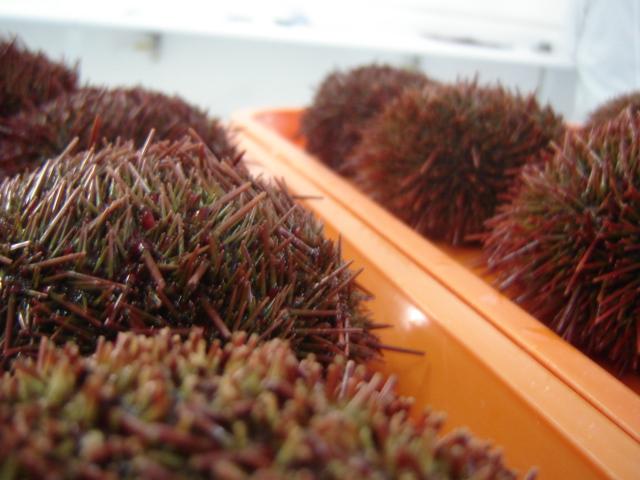 Файл:Sea urchins.jpg