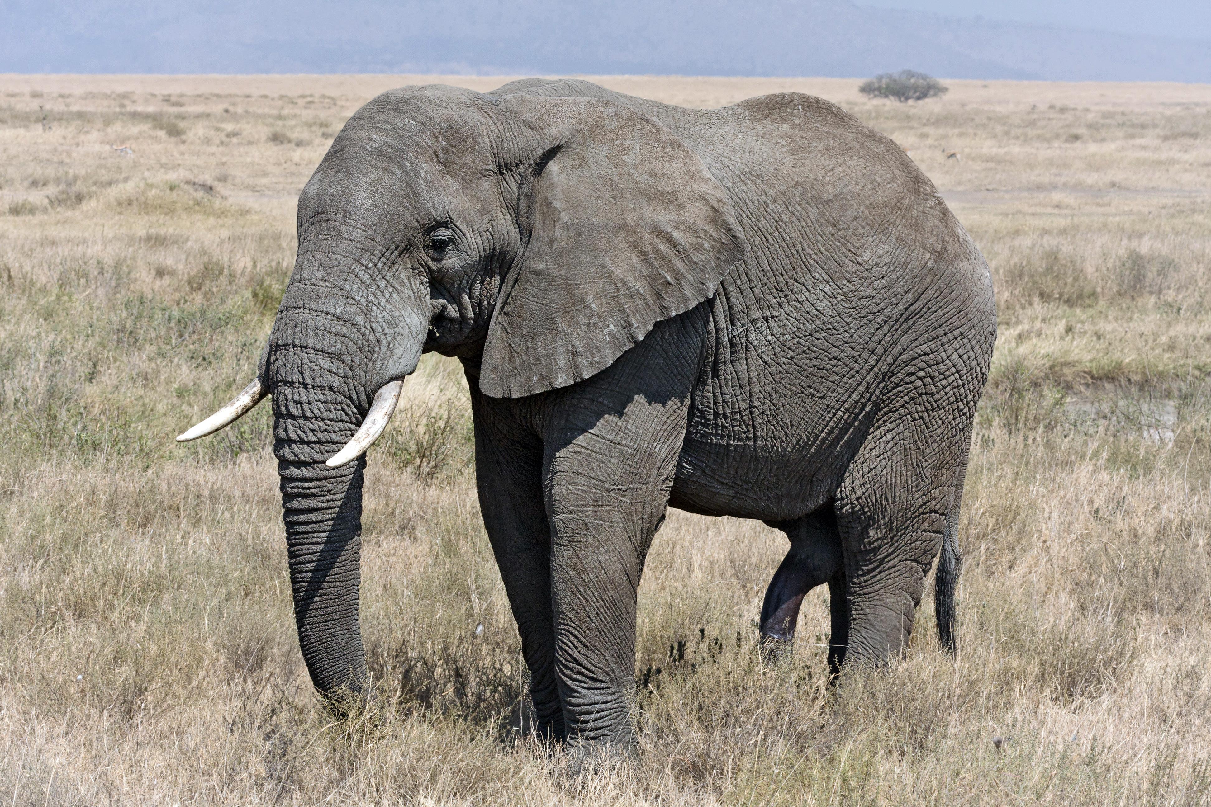 https://upload.wikimedia.org/wikipedia/commons/5/59/Serengeti_Elefantenbulle.jpg