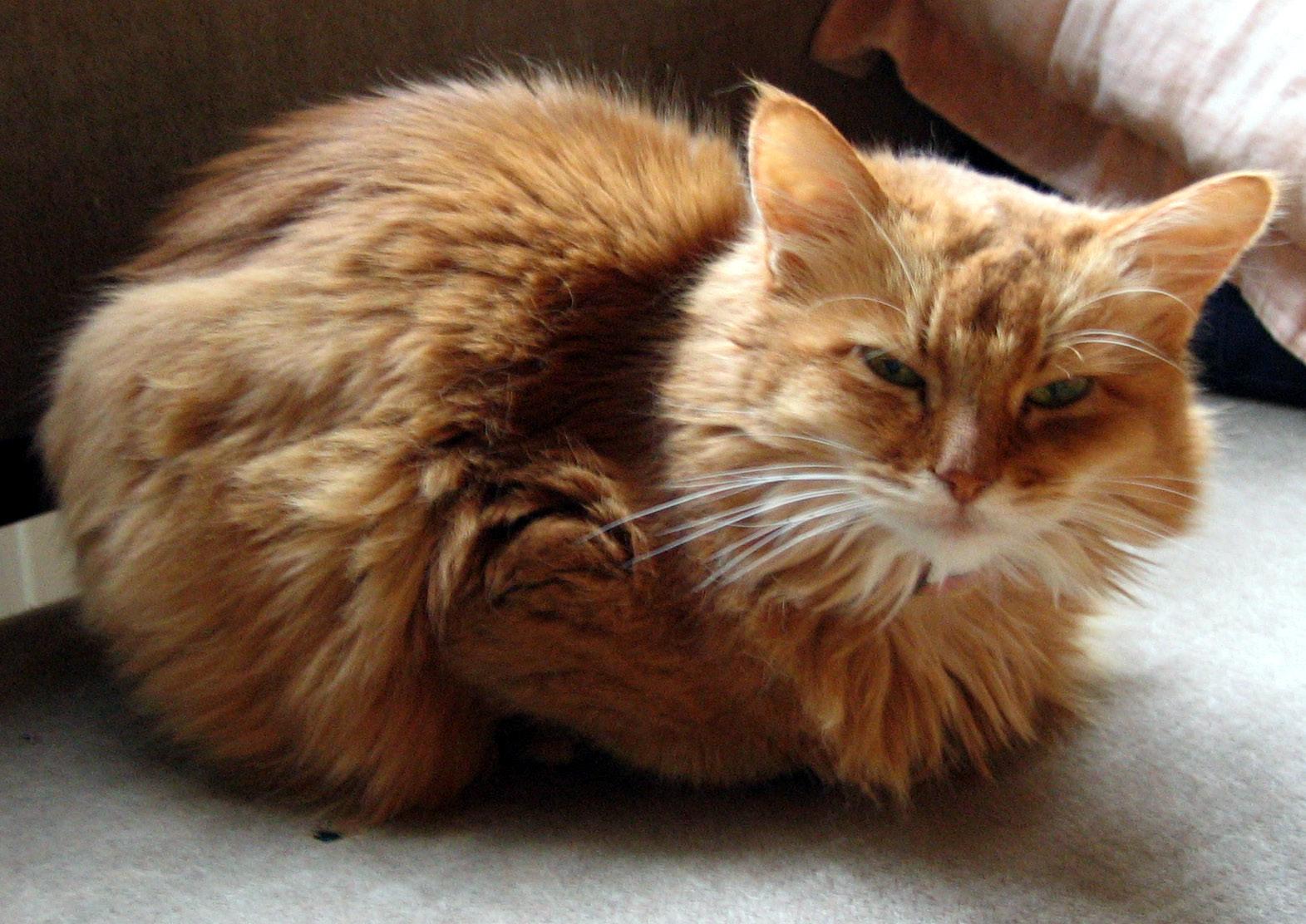 Somali Cats For Sale Perth
