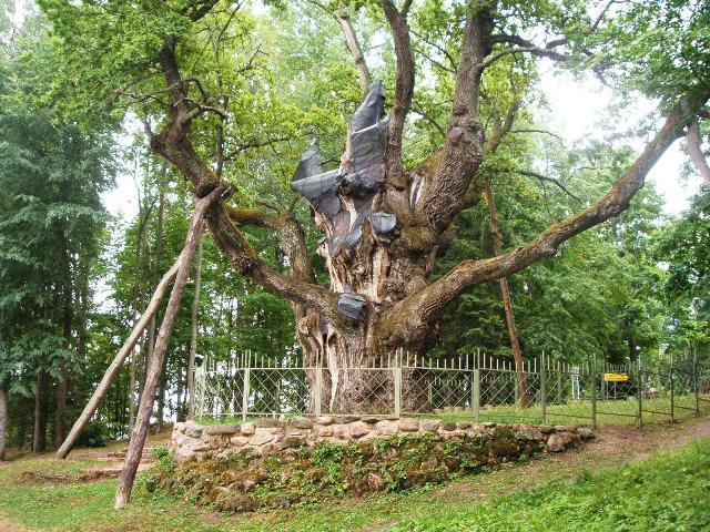 File:Stelmužė oak.jpg