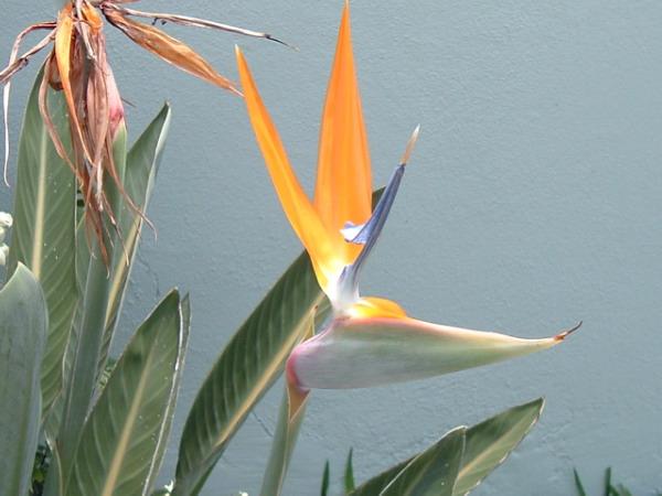 أجمل زهرة والتي سميت زهرة Strelitzia1.jpg