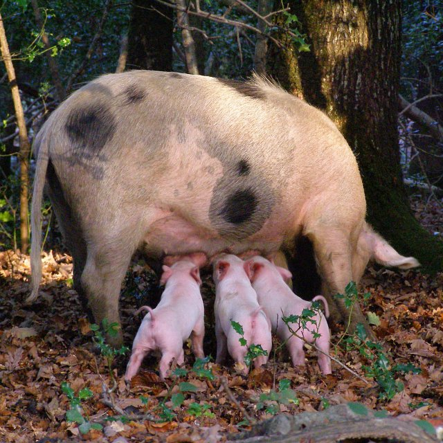 Image Result For Pigs In A