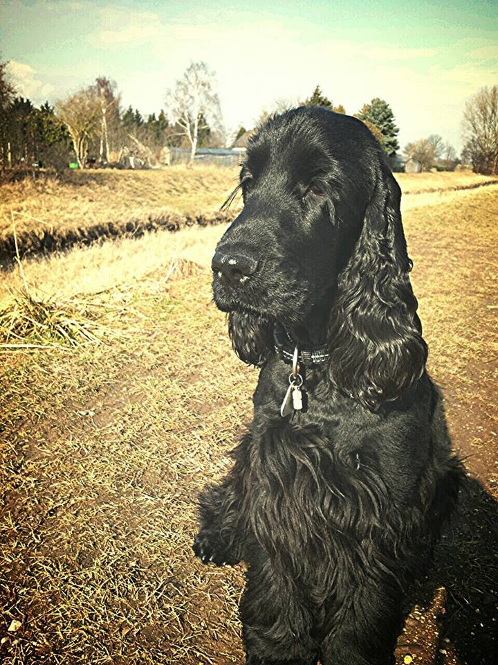 Cocker spaniel inglês - Dog Scanner