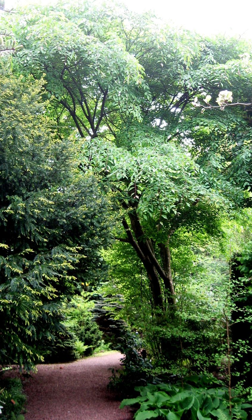 Planting Under Elm Trees : Ulmus lamellosa wikispecies