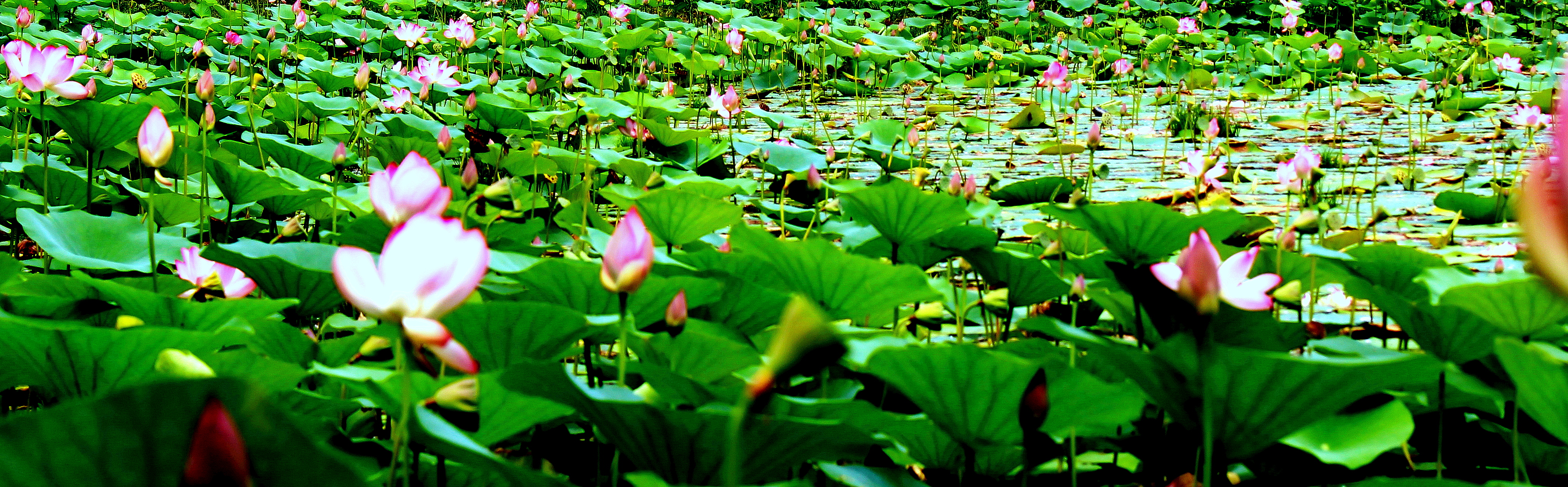 Filewater Lily Pond National Botanical Garden Of Bangladesheg