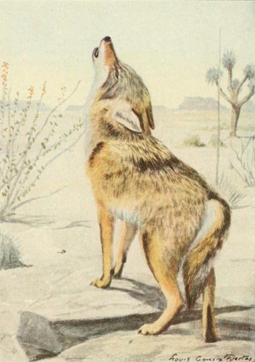 file wild animals of na 1918 arizona coyote png wikimedia commons